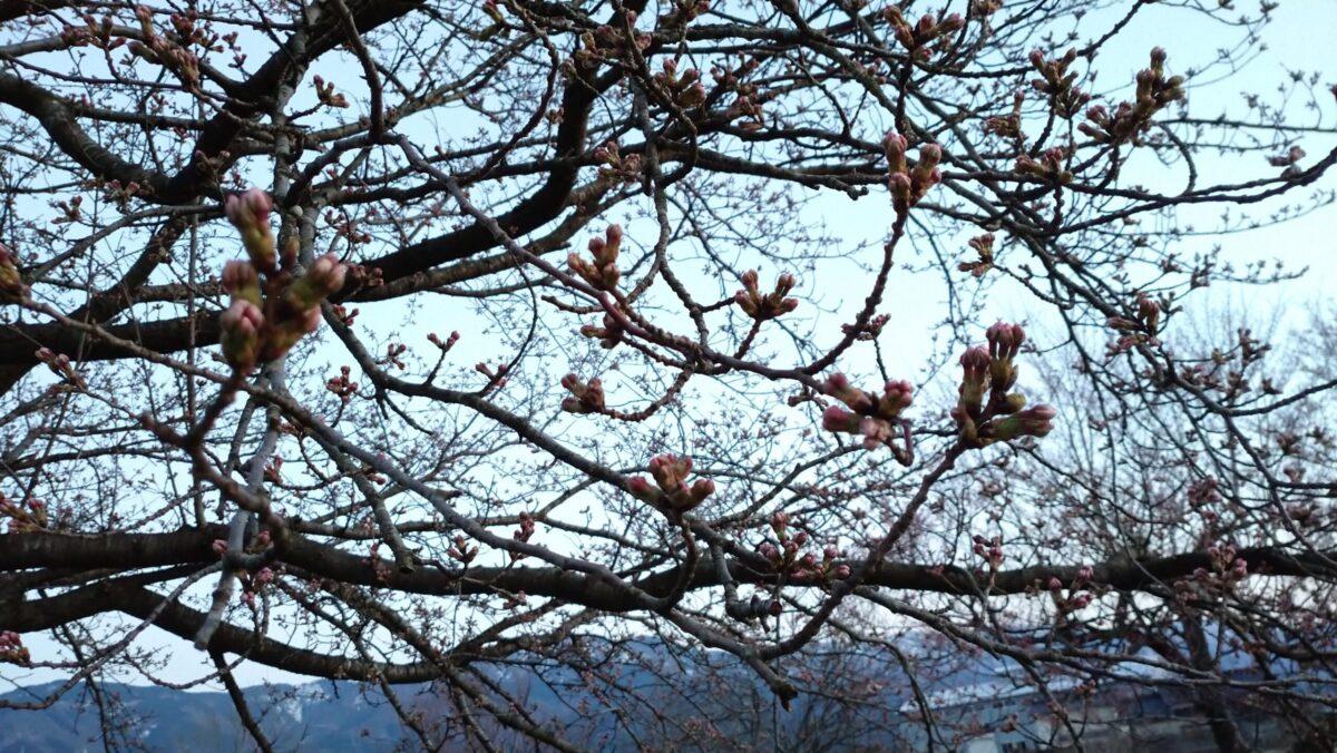 井波エリア桜