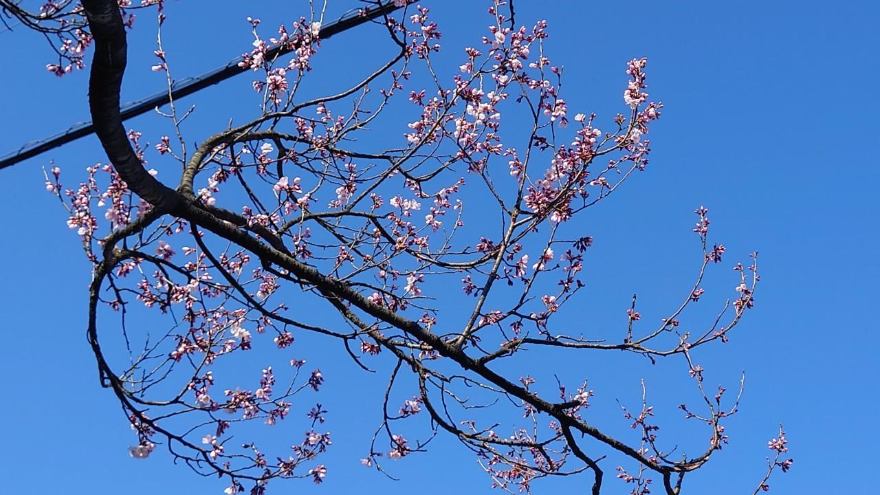 城端アエリア桜