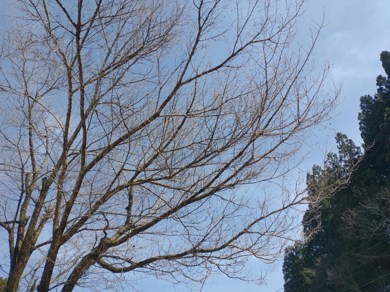 上平エリア桜