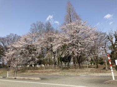 春!南砺市内、桜満開ですね♪