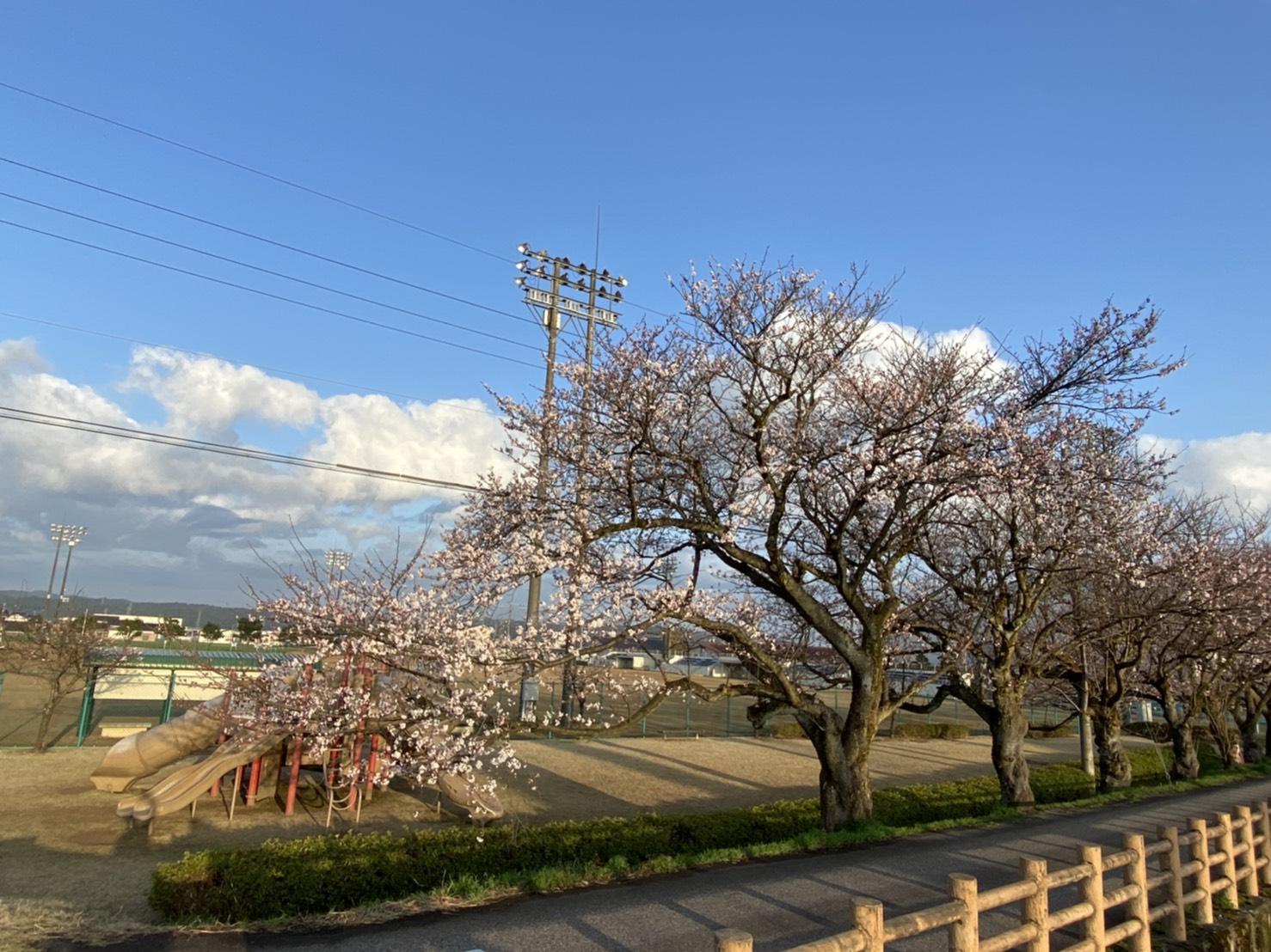 福野エリア桜