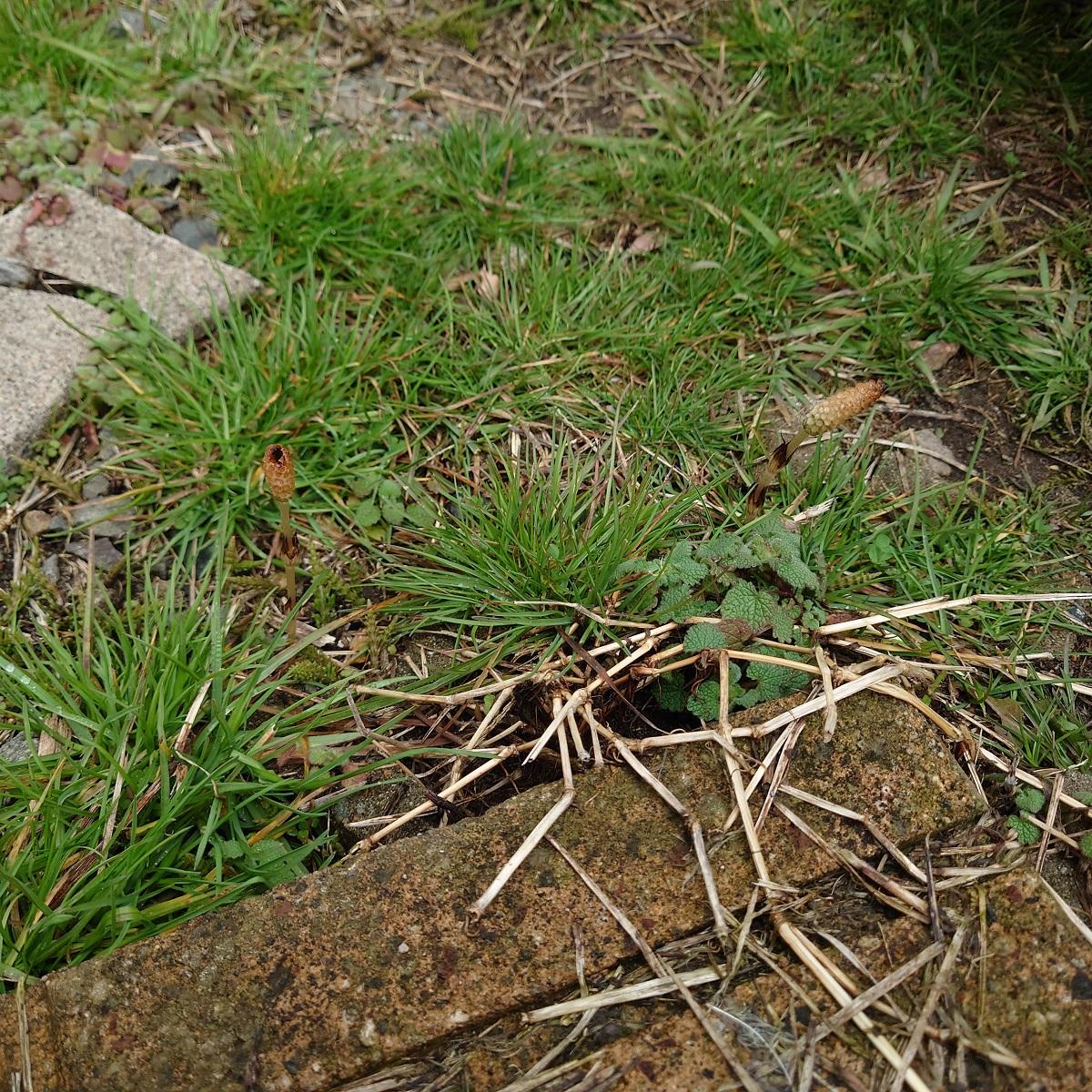 南砺市にも、とっくに春が来ていました。ツクシが伸びていました。