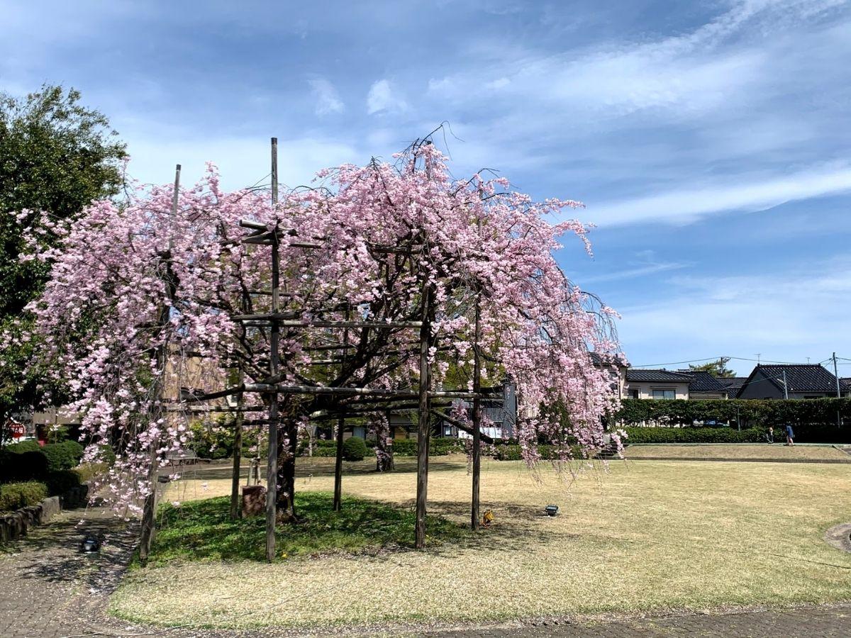 4月6日の猿が辻公園の桜