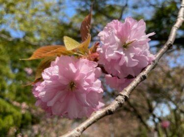 八重桜は今が見ごろ!南砺市お隣、小矢部市倶利伽羅峠の陣