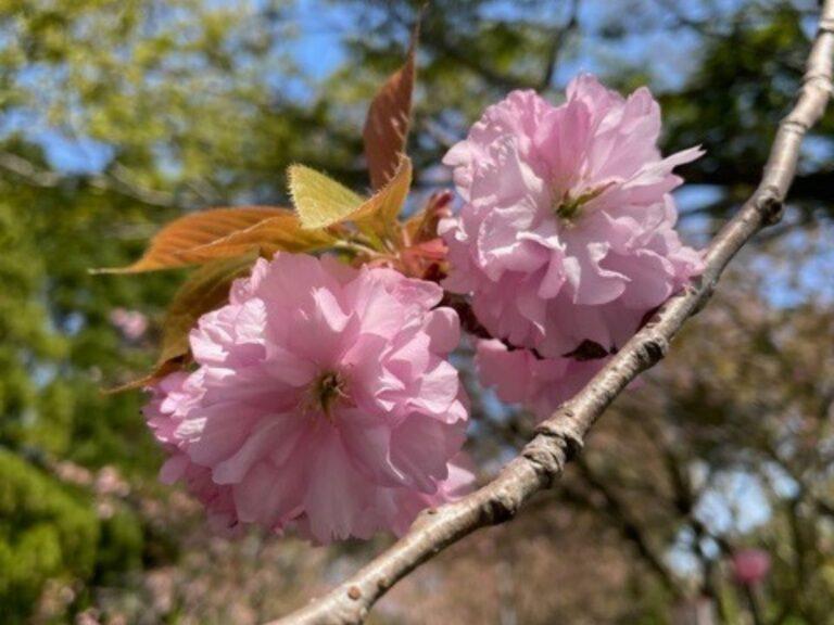 小矢部市倶利伽羅検定公園の八重桜