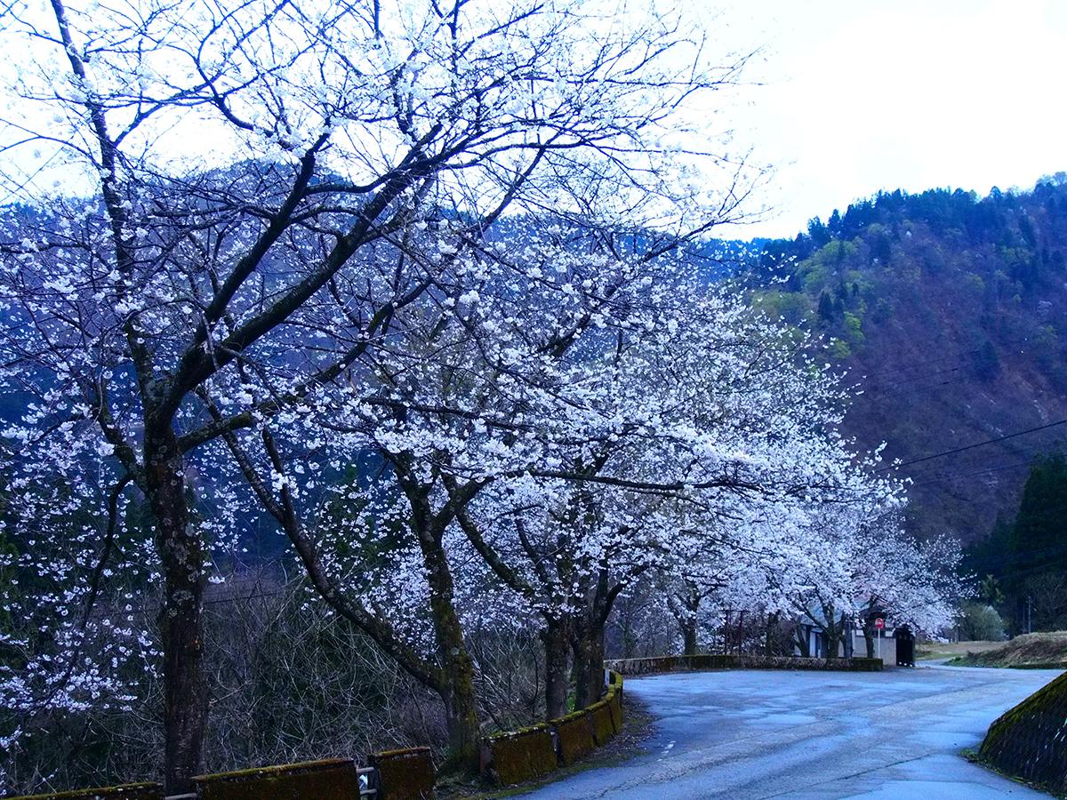 民謡の里の桜