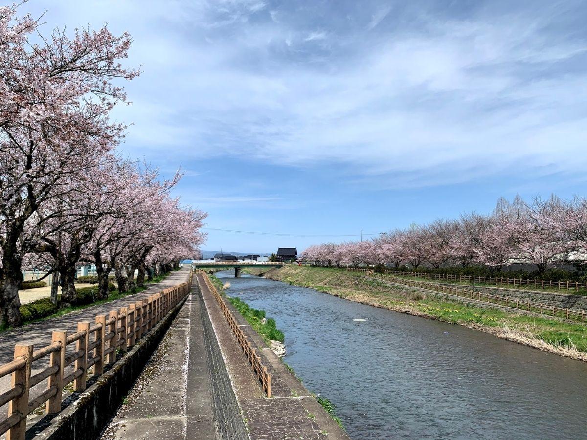 4月6日旅川沿いの桜並木