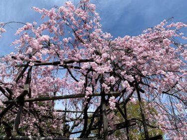 猿が辻公園の枝垂れ桜