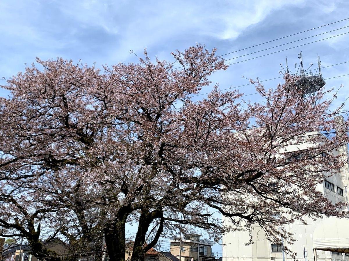 4月6日の福野中学校の桜