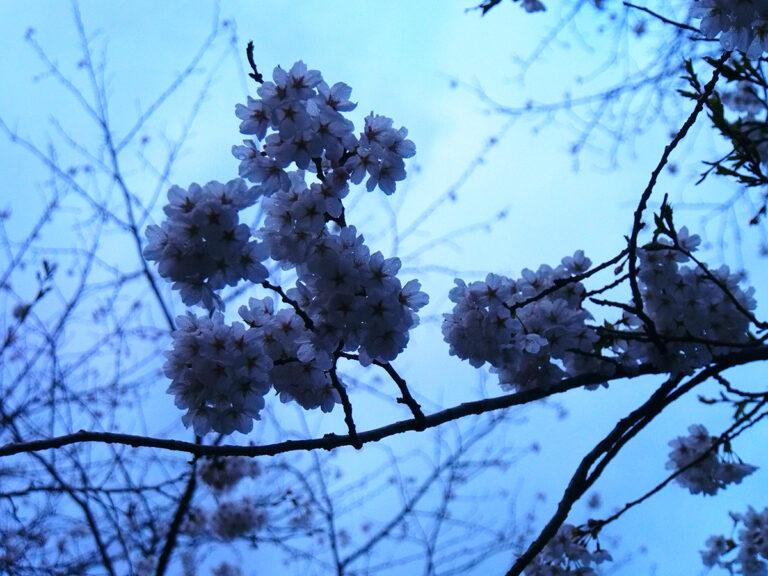 五箇山の桜アップ