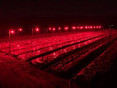 南砺市福野の畑で見つけた怪しい光の正体は「電照菊」だった。潜入調査もしてきた