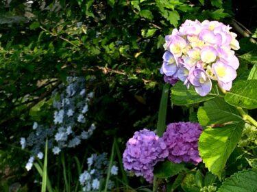 福野の紫陽花フォト2021