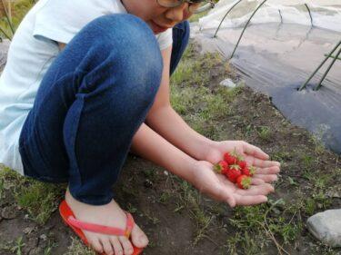 南砺の春!春の収穫、楽しんでます!イチゴと玉ねぎ