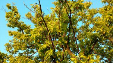 庭にある梅で、梅干し漬けてみた
