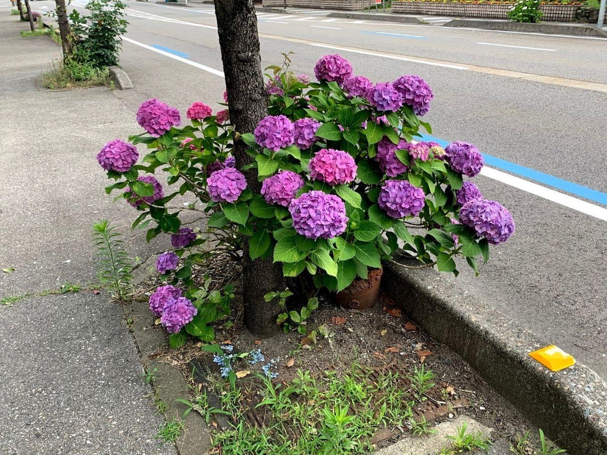 紫陽花2021➂