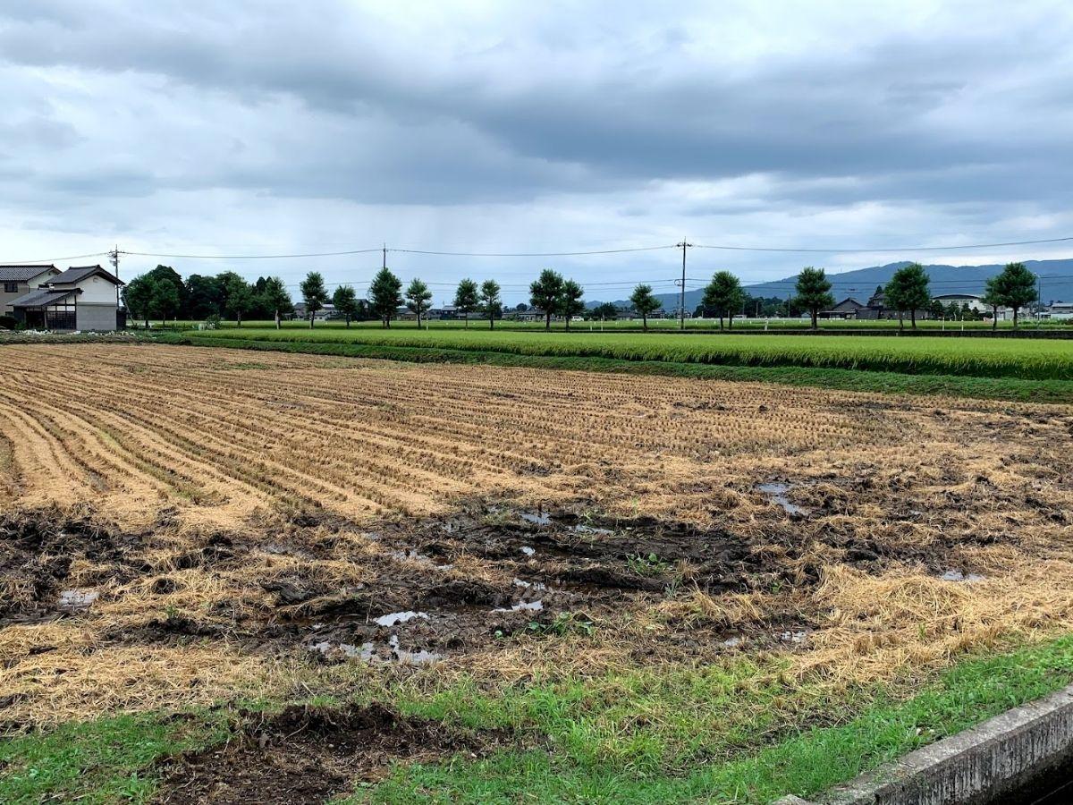 早稲品種刈り取り後の田んぼ