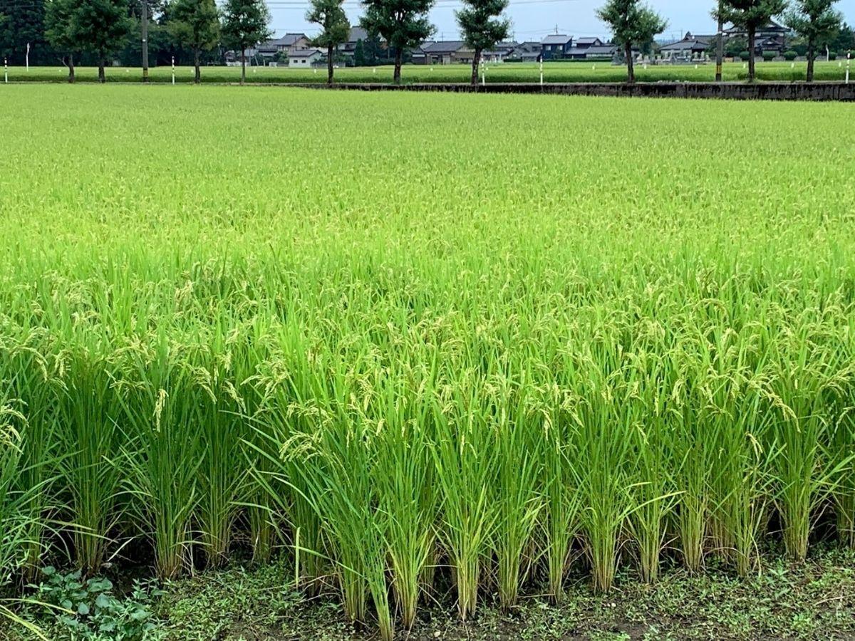 刈り取り前の稲