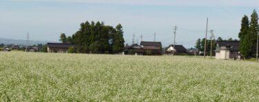 【今が見頃?!】南砺市の平野部ではソバの花が白く咲き誇っています!
