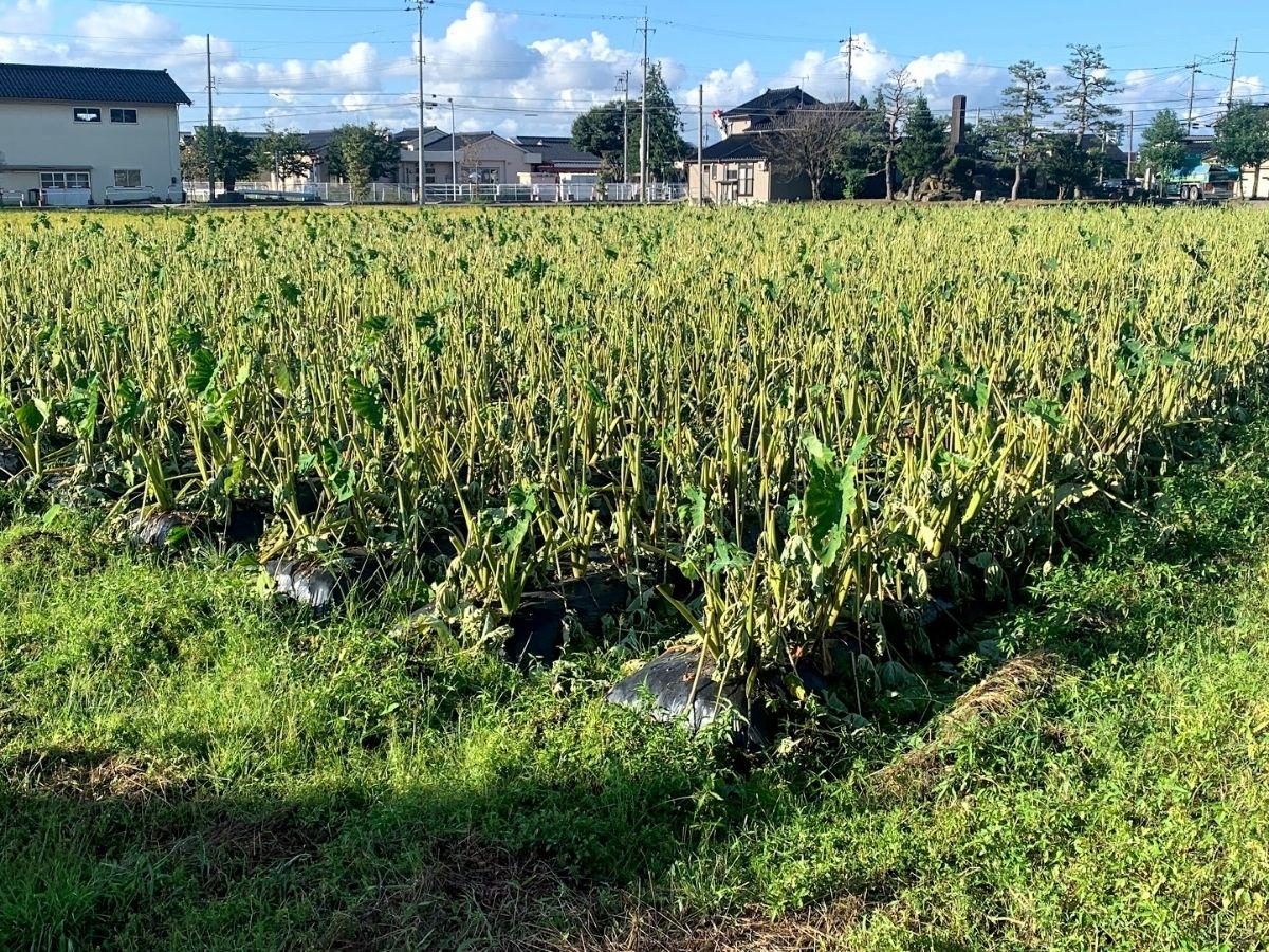 雹が降った後の里芋畑