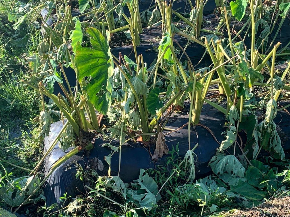 雹が降った後に里芋畑の拡大