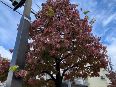 県道20号線の色づいてる街路樹1